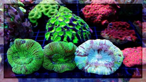 Trachyphillias, favites, favias, clavularias, gonioporas, y todas ellas geniales de color y de fluorescencias.. No te las pierdas en el nuevo pedido que nos ha llegado!