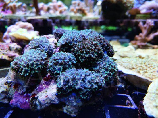 Los Simponium son corales muy pequeñitos y que se van extendiendo por la superficie de la roca. No requieren mucha luz, pues si no se retraen ;) El color azul que tienen es precioso. Y los tenemos en esquejes ;)
