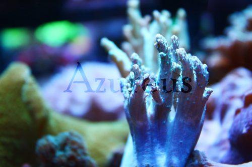 ¿Has probado con las sinularias en tu acuario? Son corales blandos muy fáciles de mantener y de crecimiento medio-rápido. Cuando se expanden pueden hasta triplicar el tamaño que tienen cerrados.