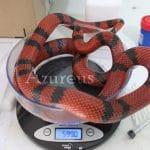 A todos los reptiles es muy importante realizarles un control de peso periódico. No lo olvides :)
