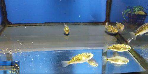 ¡¡Nos han llegado unos peces globo Tetraodon biocellatus que son la caña de España!! ¡Grandes, preciosos, hermosos, comiendo de maravilla y a muy buen precio! No te pierdas nuestro vídeo de facebook.