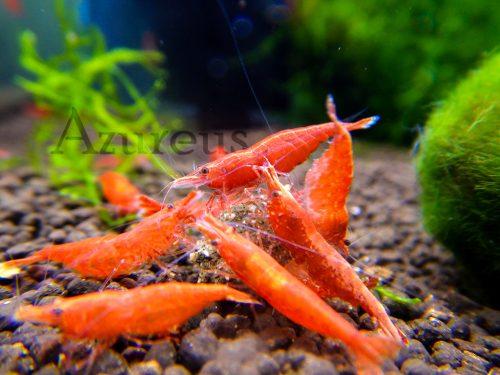 Qué colores están cogiendo las sakura red en nuestros acuarios. ¡¡Y muchas de ellas ya tienen huevos!! No te las pierdas.