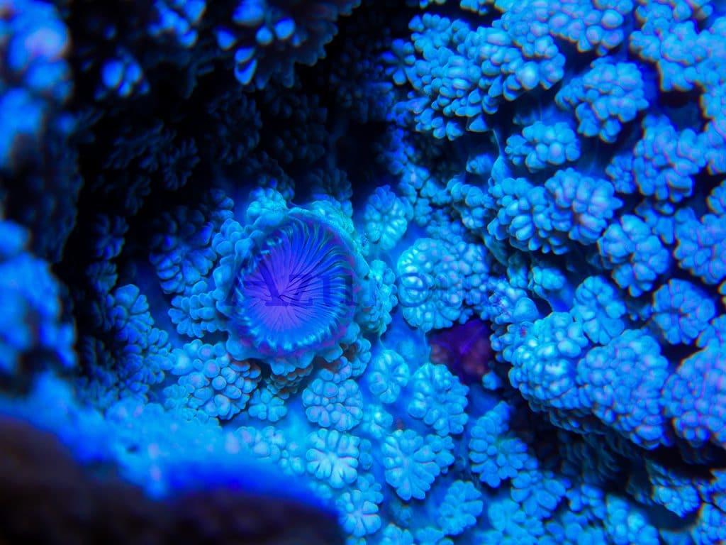 Boca de un coral Rhodactis aumentada