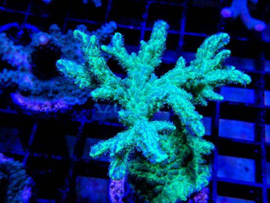 Las hydnophoras son corales de crecimiento lento o moderado, con un verde intenso que deslumbra bajo actínicos. Y pueden comer artemia y otros bichillos si se lo dejas en sus pólipos. ¡Ojito! Que son bastante agresivas con otros corales, no dejes que los toquen.