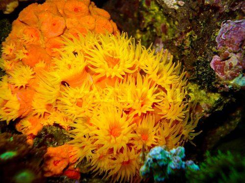 Las tubastreas son corales espectaculares. Y si las acostumbras bien, las verás con los pólipos extendidos durante el día también.