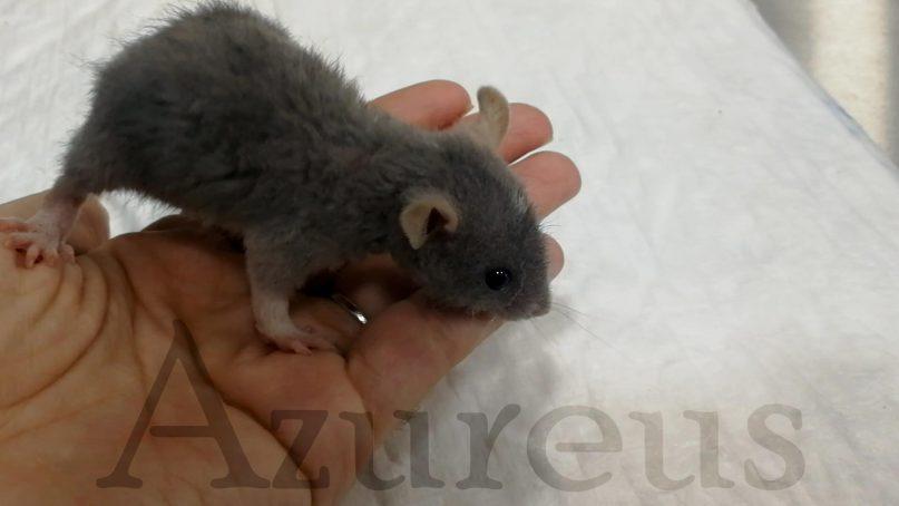 Morty, una pequeña ratita, vino a nuestra Clínica Veterinaria