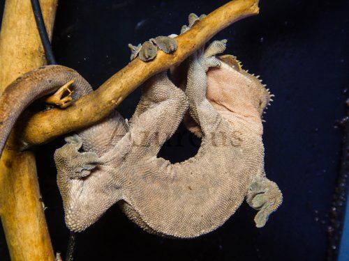 Uno de los rhacodactylus ciliatus que mantenemos en la tienda de mascotas Azureus.