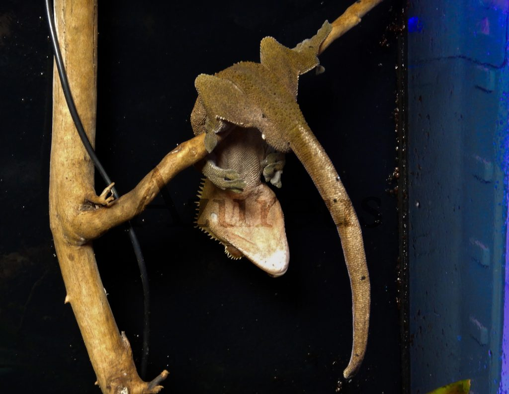 Uno de nuestros Rhacodactylus ciliatus descansando ;)