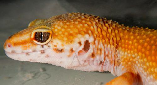 Gecko leopardo en nuestra tienda de mascotas.