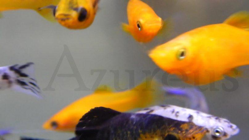 Mollys en Azureus
