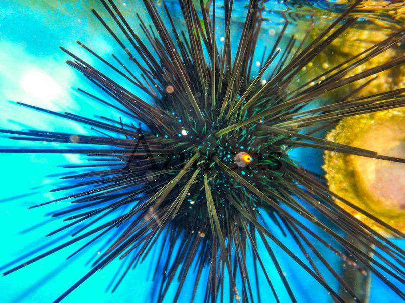 Los erizos diadema son unos potentes comedores de algas. Y además también combaten eficazmente ciertas plagas de hidrozoos.