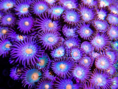 Zoanthus de color malva.