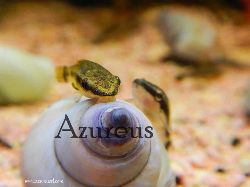 Los otocinclus no dejarán nada sin limpiar. Estos voraces y simpáticos peces lo limpian todo sistemáticamente.