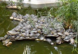 Las nuevas especies consideradas invasoras marzo de 2019 - Estanques para tortugas de agua ...